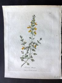 Woodville Medical Botany 1790's Hand Col Print. Teucrium Marum